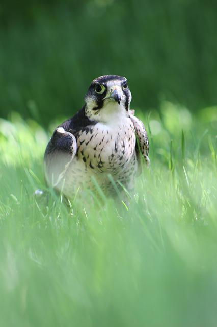 Lanner Falcon, Bird Of Prey, Falcon, Lanner, Falconry