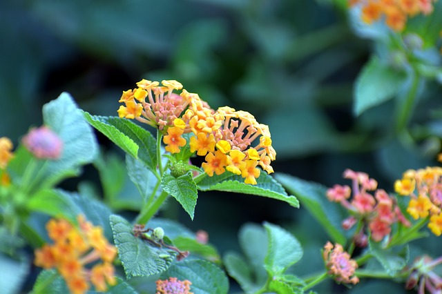 Lantana Camara, Red-sage Flower, Tickberry