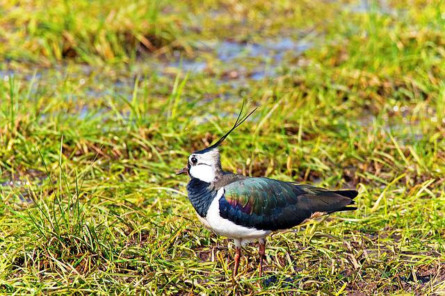 Lapwing, Bird, Animal, Limicoline, Meadow Birds