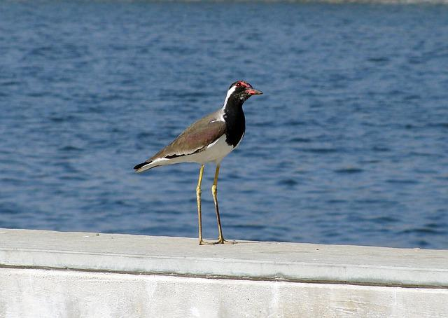 Bird, Riverfront, Waterfront, Water, Lapwing