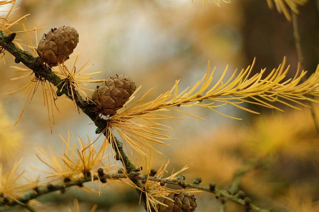 Nature, Plant, Tree, At The Court Of, Closeup, Larch
