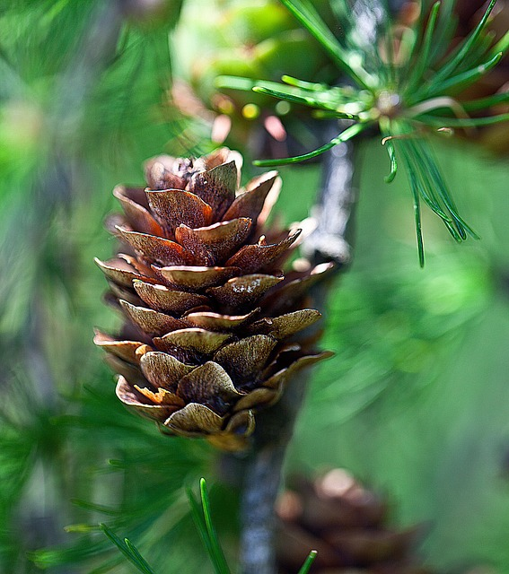Pine Cone, Larch, Larch Cone, Nature, Tree, Sprig