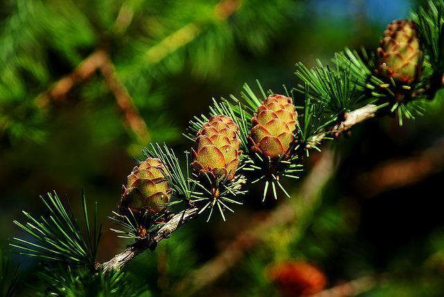 Cones, Larch, Tree, Iglak, Larch Cones, Sprig, Nature