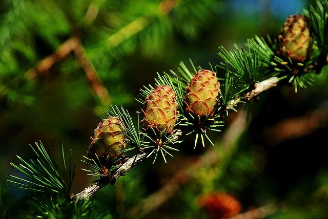 Cones, Larch, Tree, Iglak, Larch Cones, Sprig, Nature