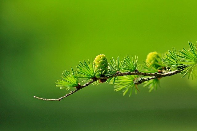 Tree, Branch, Cones, Larch Needles, Larch