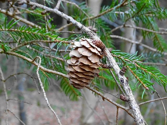 Larch, Tap, Larch Cones, Road, Conifer, Nature