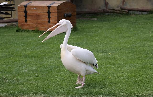 Pelikan, White Pelican, Large Beak, Water Bird, Species