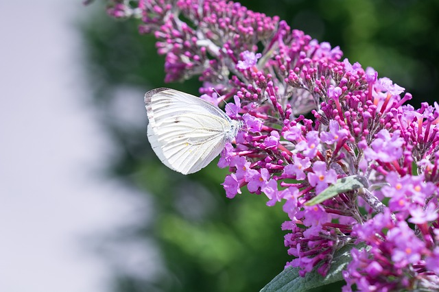 Large Cabbage White Ling, Pieris Brassicae, Butterfly