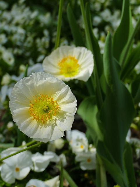 White Flowers, Flowers, Large, Small, White Pansy