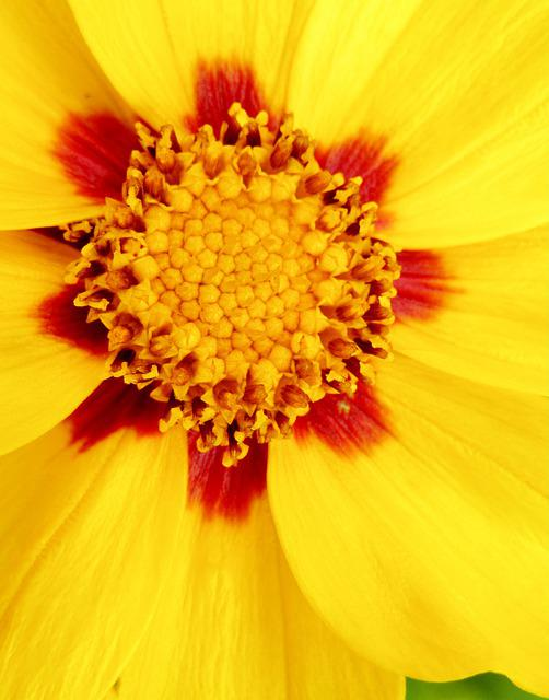 Tick-seeds, Coreopsis, Large-flowered Coreopsis
