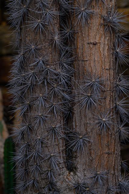 Large-leaf Foliage Cactus, Pereskia Grandifolia, Cactus