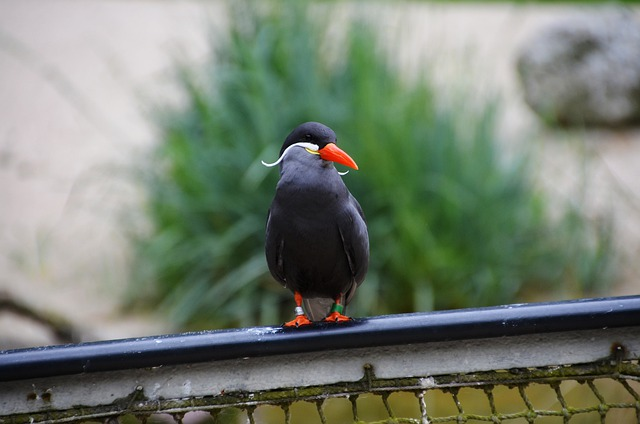 Inca Tern, Larosterna Inca, Tern, Larosterna, Bird