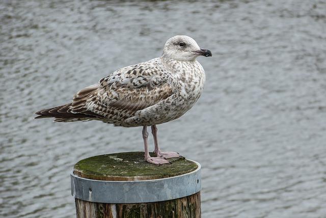 Herring Gull, Jungmöwe, Larus Argentatus, Seevogel, Sea