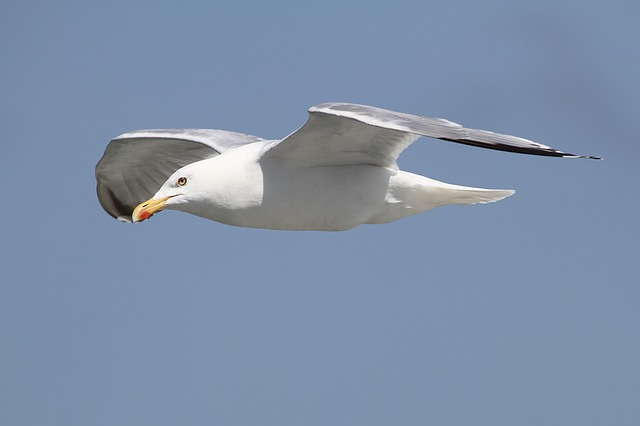 Herring Gull, Larus Argentatus, Seevogel, Sea