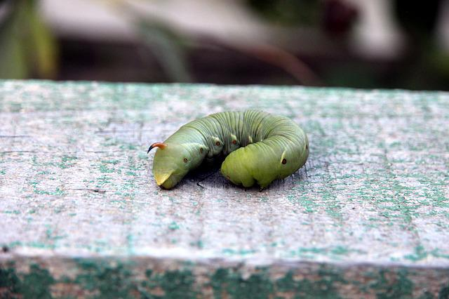 Caterpillar, Hyles, Insect, Larva, Living Nature