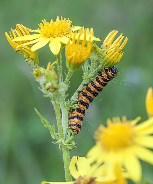 Cinnabar-moth, Caterpillar, Larva, Striped, Summer