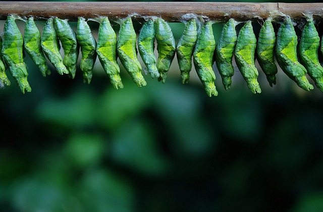 Cocoon, Butterfly, Larva, Larvae, Insect Larvae, Macro