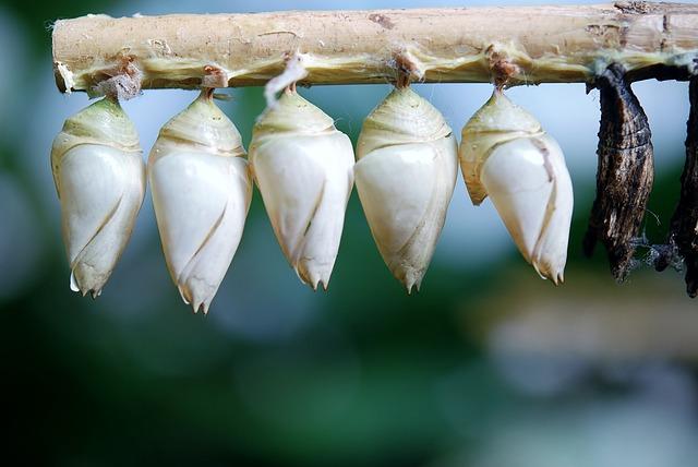 Cocoon Butterfly, Larva, Larvae, Butterflies
