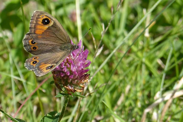 Butterfly, Brown Eye, Lasiommata Maera, Red Clover