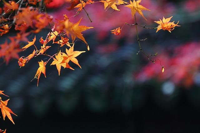 Maple, Autumn, Views, Late Autumn