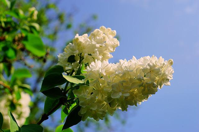 Lilac, Blossom, Bloom, White, Late Spring, Fragrance