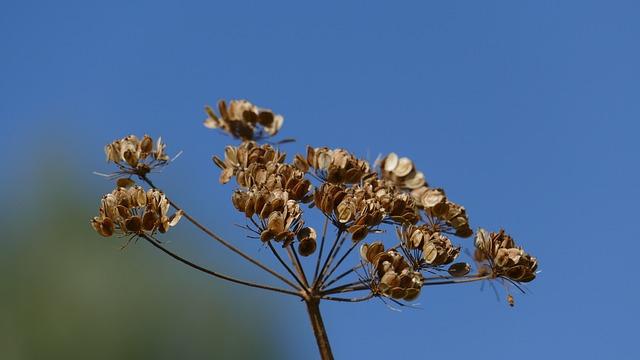 Trockenblume, Late Summer, Sky, Umbel Dry, Flora, Plant