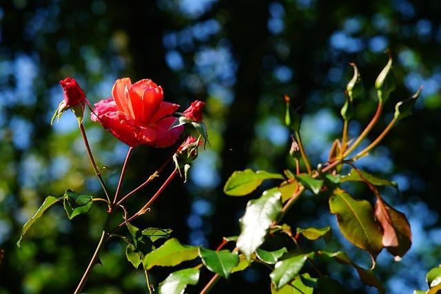 Flowers, Roses, Red, Garden, Late Summer, Tender