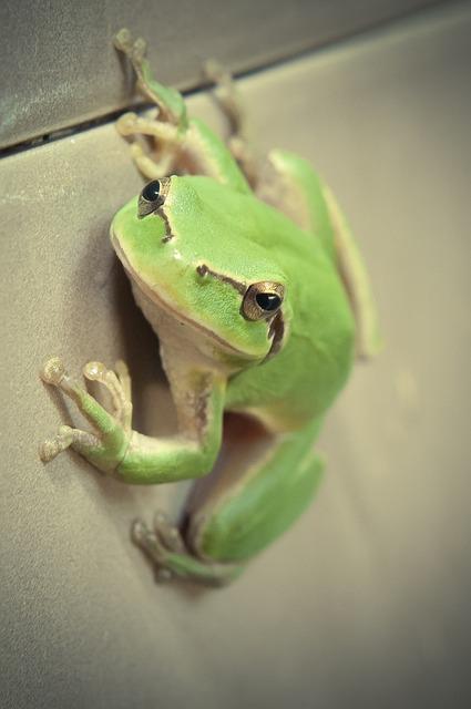 Mediterranean Tree Frog, Frog, Wall, Laubfroch