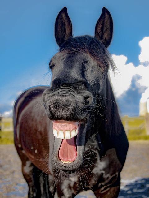 Horse, Mare, Friese, Laugh, Yawn, Tooth, Portrait