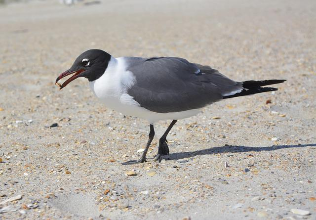Seagull, Laughing Gull, Crystal Coast, Nc