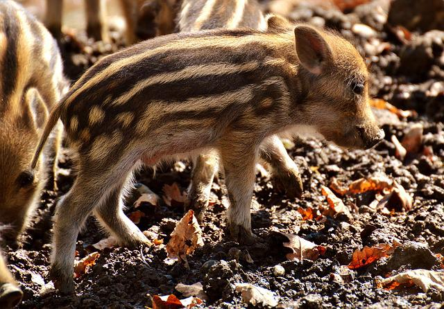 Wild Pigs, Launchy, Young Animals, Piglet, Pig, Small
