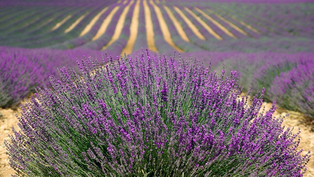 Lavender, Lavender Field, French Lavender, Purple