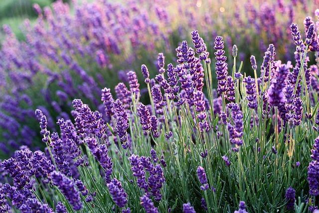 Lavenders, Flowers, Lavender Field, Purple Flowers