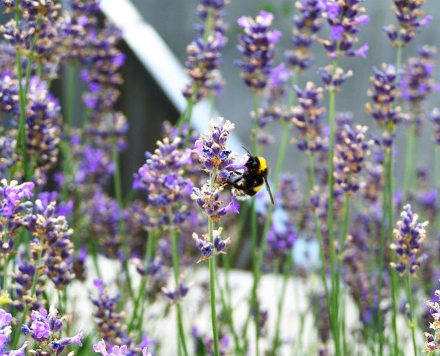 Lavender, Purple Summer Flower, Flower Garden