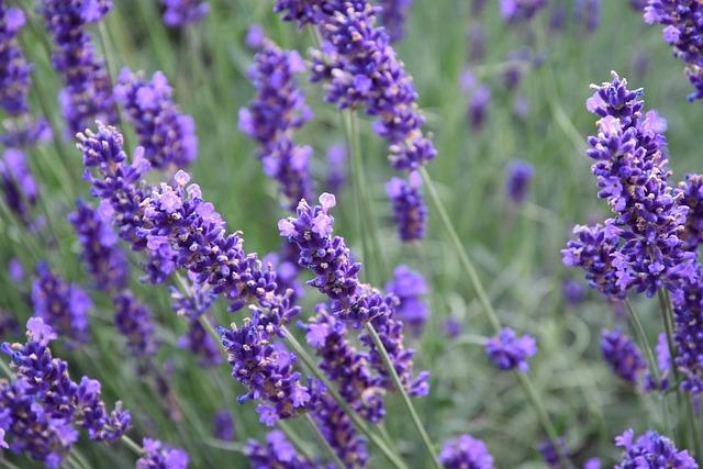 Flower, Lavender, Perfume, Plant