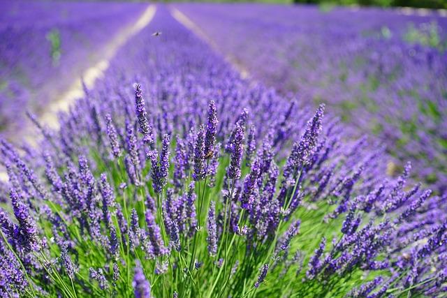 Lavender Cultivation, Lavender Field, Lavender, Flowers