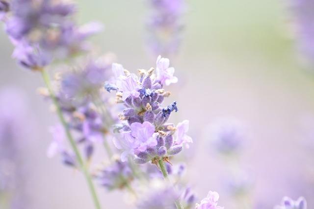 Lavender, Summer, Violet, Lavender Flowers