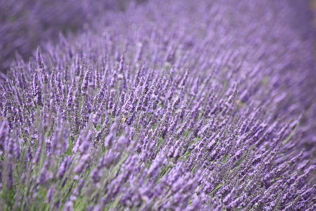 Lavender, Purple, Flower, Fragrance, Lavender Flower