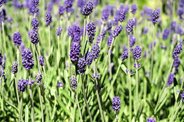 Lavender, Flowers, Bloom, Violet, Lavender Flowers
