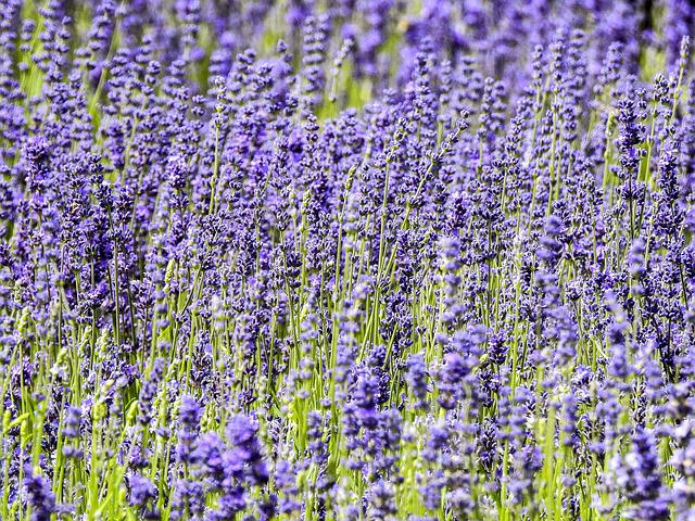 Lavender, Flower, Plant, Nature