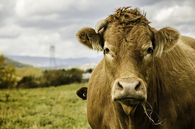 Animal, Lawn, Cow, Mammal, Nature, Charlevoix, Québec