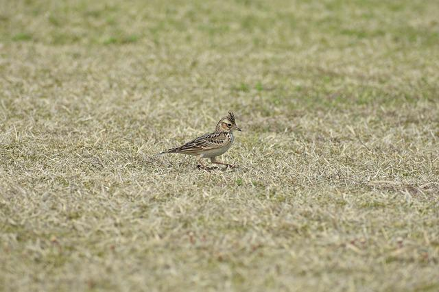 Animal, Park, Grass, Lawn, Bird, Wild Birds, Lark