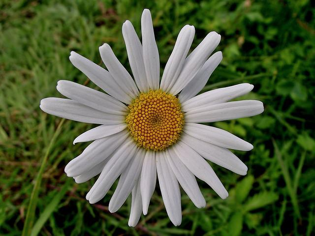 Nature, Summer, Plant, Lawn, Flower, Daisy