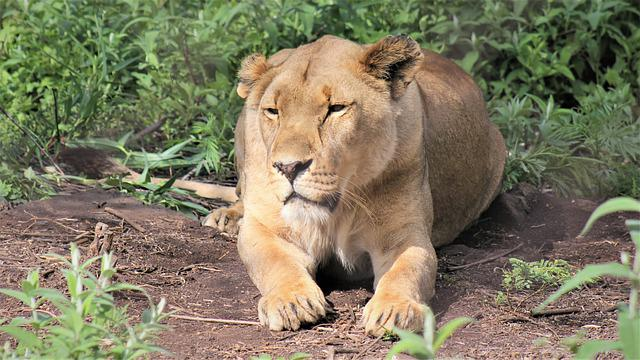 Lioness, Grin, Laying Down, Fear, Camouflage, Stare