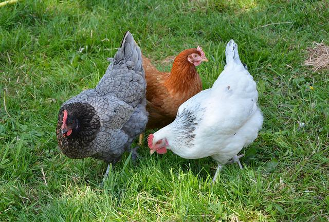 Hens, Laying Hens, Lower Short, Laying Hen