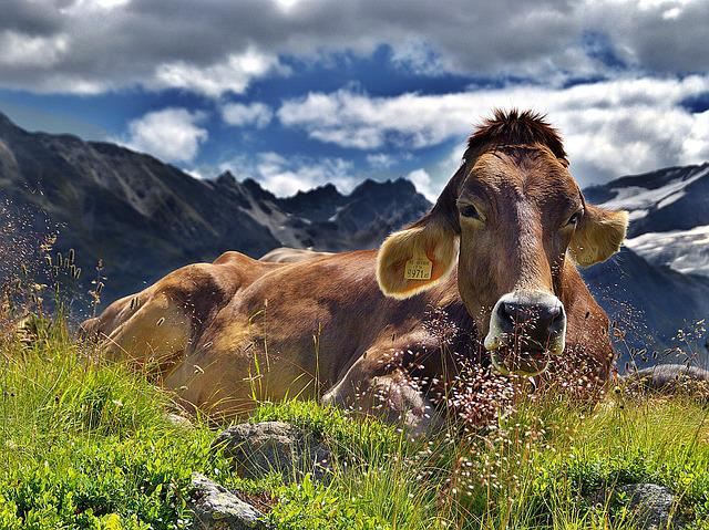 Cow, Alps, Cattle, Mountains, Rest, Landscape, Laziness