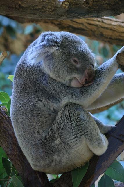 Koala, Lazing Around, Zoo, Relax, Animal World, Sweet