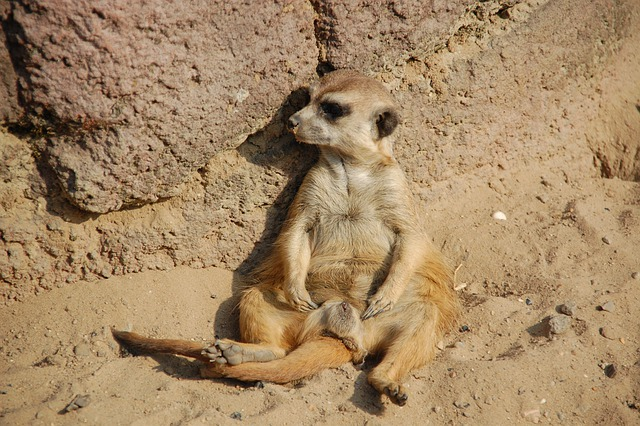 Meerkat, Animals, Africa, Zoo, Lazy