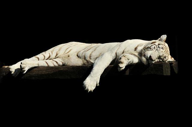 Tiger, Lazy, Sleeping, White, Animal, Zoo, Cat