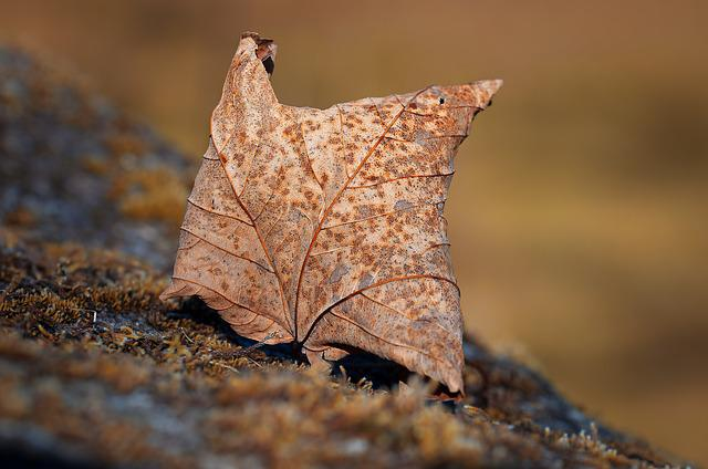 Leaf, Autumn Leaf, Leaves, Foliage Leaf, Dry, Brown